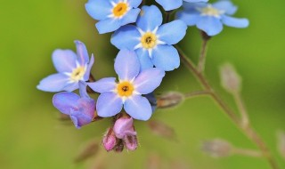 forget-me-not-355696_640